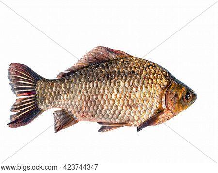 Freshwater Fish Crucian Carp On A White Background. Fish Crucian Carp. Fishing Catch. Fisherman's Tr