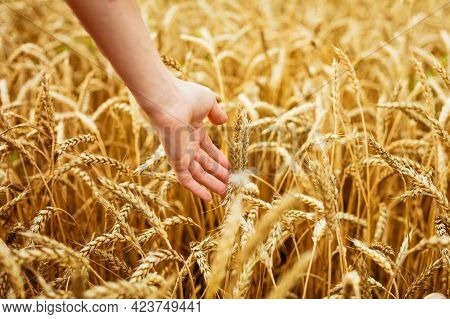 Woman Hand Touching Wheat Ears On Field. Hands On The Golden Wheat Field. Woman Running Her Hand Thr