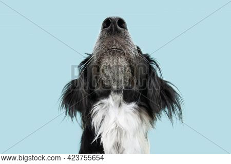 Close-up Border Collie Dog Looking Up. Isolated On Blue Background. Smelling Concept