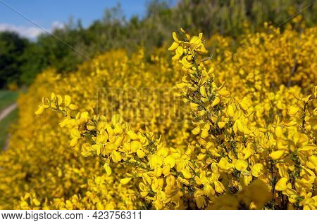 Cytisus Scoparius, The Common Broom Or Scotch Broom Yellow Flowering In Blooming Time