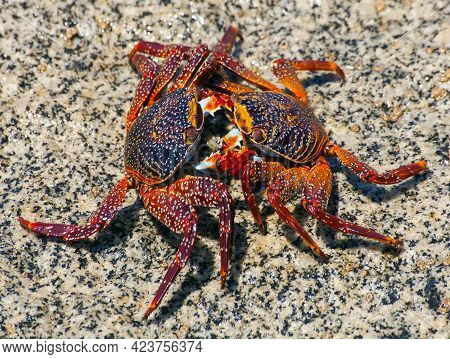 Two Red Crab Sitting On Stone, Sea Crustacean, Water Animal