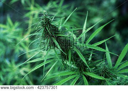 Cannabis Hemp With Hemp Flowers. Concept Of Herbal Alternative Medicine, Cbd Cannabis Oil.