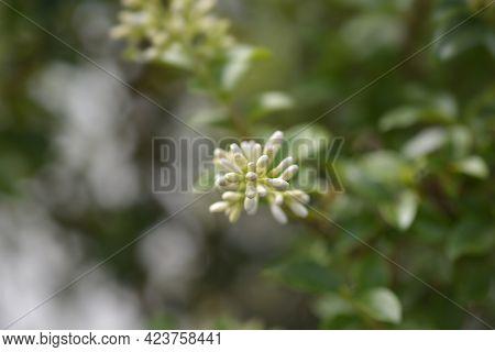 Delavay Privet Flower Buds - Latin Name - Ligustrum Jonandrum