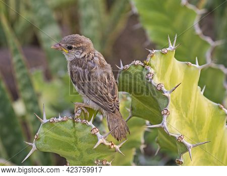 Juvenile House Sparrow Passer Domesticus Stood Perched On Leaf Frond Of Cactus Plant In Wild Garden