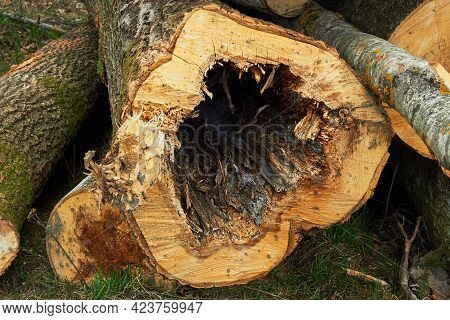 Pine Stump From Felled Tree In Forest. Wood Damaged By Bark Beetle. Cutting Of The Trees, Bark Beetl