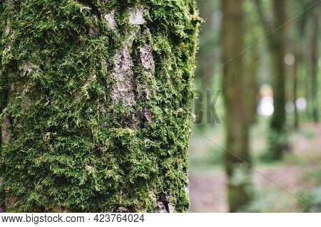 Close-up Of Green Moss On Tree Bark In Forest. Moss-covered Tree Trunk.