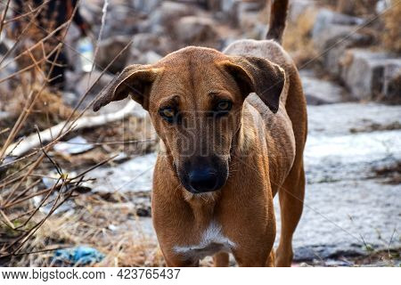 Stock Photo Of Hungry And Innocent Brown Color Street Dog Roaming On The Street And Looking At The C