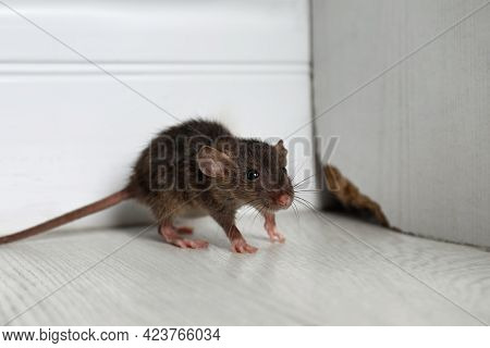 Grey Rat Near Wooden Wall On Floor. Pest Control