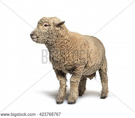 Southdown sheep, Babydoll, smiling sheep, isolated on white