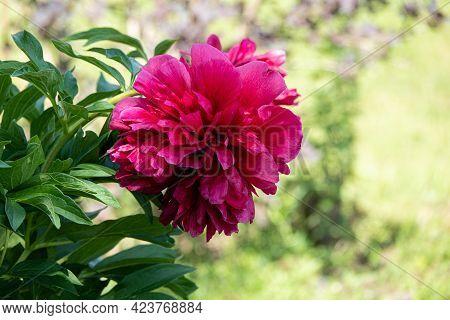 Pink Flowers Peonies Flowering On Background Pink Peonies. Peonies Garden.