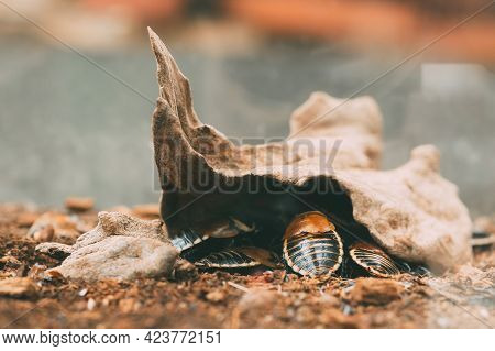 Lucihormetica Verrucosa Is A Species Of Giant Cockroach In The Family Blaberidae, Commonly Known As