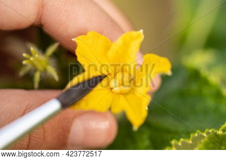 Pollination Of Cucumber (cucumis Sativus) With Brush On Vegetable Garden Outdoors In Summer Close Up