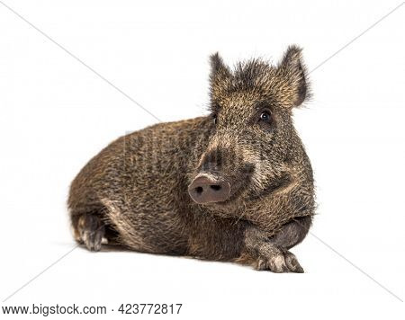 Lying down Wild boar, isolated on white