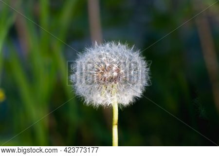 An Airy Dandelion With Light Seeds On A Dark Background