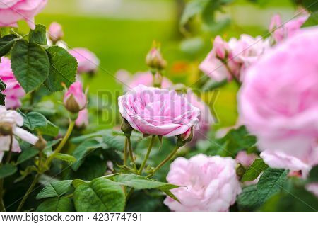 Beautiful Fragrant Flowers Of Classification Roses Color Pink Grows In Garden In Summer Close Up.