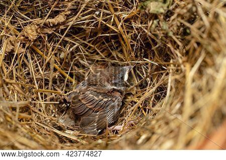 One Grown Chick (fledgling) Of House Sparrow In Nest From Dry Herbs Close Up.