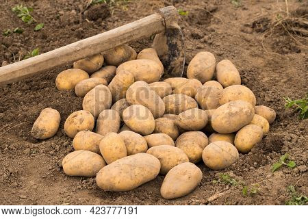 Potato. Time Harvesting Potatoes. Heap Of Fresh Potatoes With Ground On Sunny Field After Harvesting