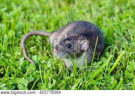 Cute Animal Of Gray Rat Rattus Gray Color Walking On Grass Outdoors In Summer.