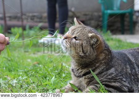 The Domestic Short-haired Grey Striped Cat Plays Outside On The Grass. Close-up. Summer, Street Cat