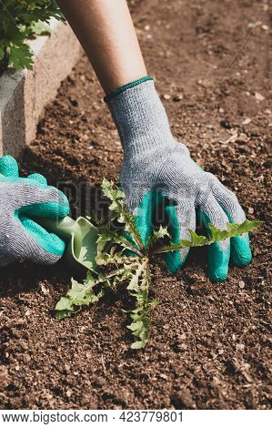 Struggle Weeds. Female Hands In Gloves With Tool Of Scoop Pull Grass Weed From Ground In Garden In S