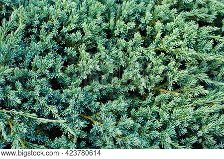 Texture Background Of Green Plant Of Juniper Scaly (juniperus Squamata) Growing In Garden Outdoors I