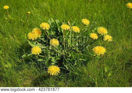 Herbaceous Plant Of Taraxacum Grow On Meadow Field In Sunny Summer Day.