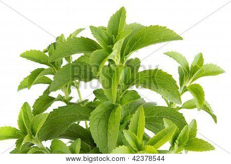 Stevia herb