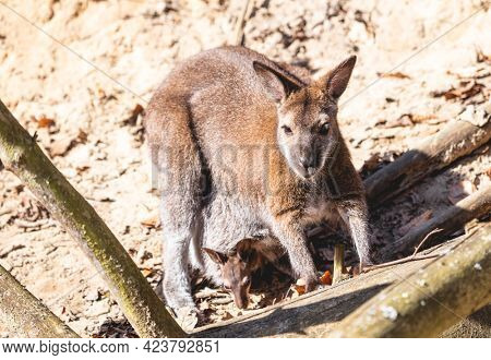 Red necked wallaby with joey in a pouch full body portrait