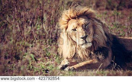 Lion lying on grass on savanna