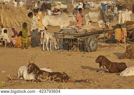 Pushkar, Rajasthan, India - November 5, 2008: Camel Carts And Camping Area At The Annual Pushkar Fai