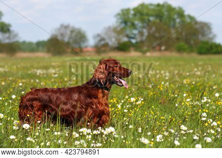 Beautiful Irish Setter Pet Dog Panting In The Flowering Grass Meadow  In Summer