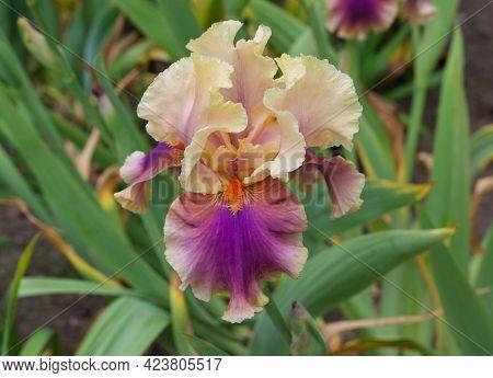 Unusual Iris Bloom In Contrasting Shades Of Manilla, Purple And Orange