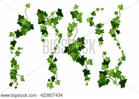 Ivy Plant Vector Cartoon Illustration, Green Vine Leaves, Climbing Branches Isolated On White Backgr