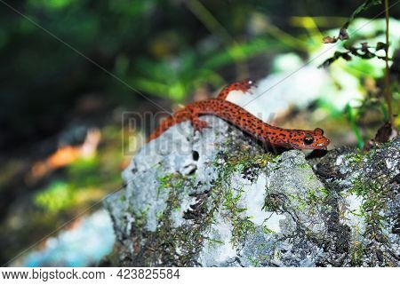 A Cave Salamander Emerging From His Home Searching For A Water Source In The Forest.