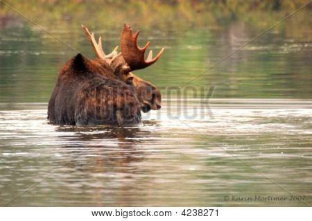 Bull Moose In Pond
