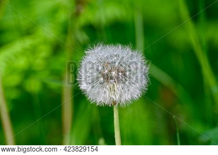 Dandelion Flower With Lots Of White Seeds Ready To Fly