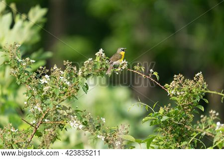 A Yellow Breasted Chat Perched On A Bramble.