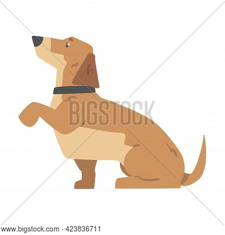 Dachshund Dog Giving Its Paw, Cute Pet Animal With Light Brown Coat And Collar Cartoon Vector Illust