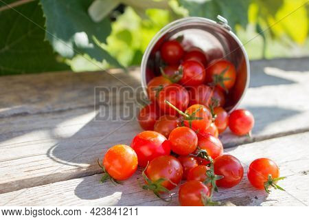 Small Cherry Tomatoes. Ripe Small Tomatoes Are Scattered On A Wooden Table. First Crop Of Tomatoes.