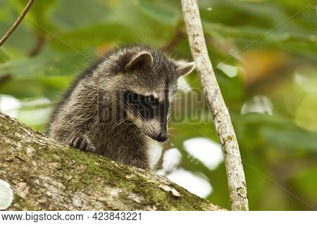 Young Raccoon Hiding On A Branch Of A Tree And Observing With Interest.