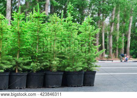 Spruce Or Fir Tree Seedlings In Pots In A Tree Nursery Outdoor