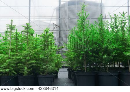 Spruce, Larch And Fir Tree Seedlings In Pots In A Tree Nursery On The Background Of The Greenhouse