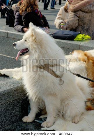 poster of husky dog snow white sitting