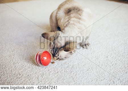 Curious Devon Rex Cat Is Playing With Red Color Toy Ball Dispenser With Snacks Inside That Slowly Dr