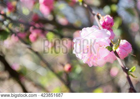 Spring Pink Flowering Almond In The Garden, Prunus Triloba