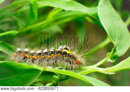 Hairy Caterpillar On Juicy Fresh Green Leaves. Furry Caterpillar Against Soft Blurred Background