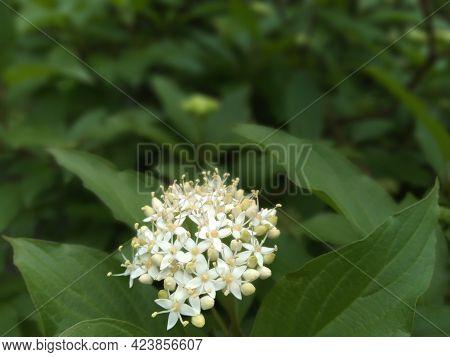 White Flowers Of Cornus Alba Shrub, Known As Red Barked, White Or Siberian Dogwood (swida Alba), And