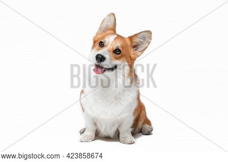 Cute Curious Red And White Pembroke Welsh Corgi Dog With Pink Tongue Out Looks At Camera Sitting On