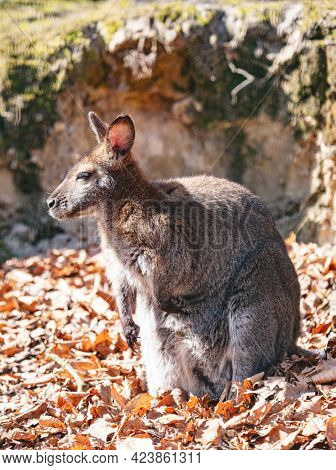 Red necked wallaby full body portrait