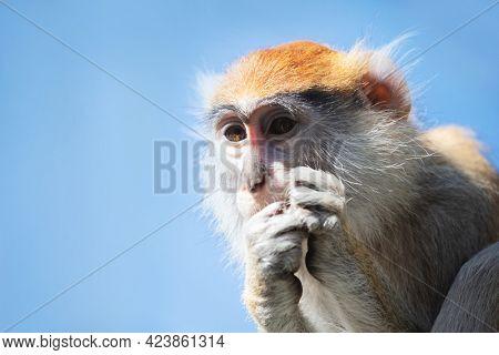 Patas monkey portrait in sun light